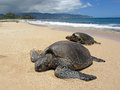 Two turtles in the sand a beach hawaii Stock Photography