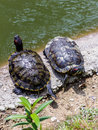 Two turtles in the sun on edge of a lake Royalty Free Stock Photo