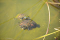 Two turtles in the wild swimming in a swamp freshwater Stock Photography