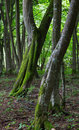 Two twin slanted hornbeam trees in stand moss wrapped of bialowieza forest Stock Photography