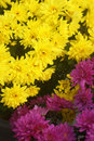 Two types of chrysanthemums Royalty Free Stock Photo
