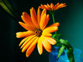 Two Ultra Bright Calendula Flowers Royalty Free Stock Photo