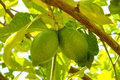 Two unripe green lemon on the tree Royalty Free Stock Photo