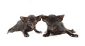 Two very small cute black chocolate oriental kitten isolated on white focus the right Royalty Free Stock Photography