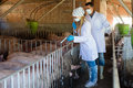 Two veterinarians to make pharmaceuticals injection are going domestic hogs in sty Stock Photography