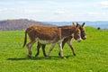 Two Walking Donkeys Royalty Free Stock Photo