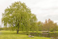 Two Weeping Willow Trees