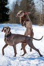 Two weimaraner dog plays on the snow field Stock Images