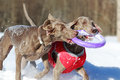 Two weimaraner dog plays toy Stock Image