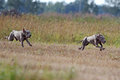 Two Weimaraner dogs run Stock Image