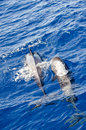Two whales in tererife s sea Stock Photo