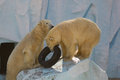 Two white bears plaing with tire Royalty Free Stock Photography