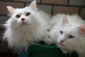 Two white cats cute indoor together they had seven years old Stock Photo
