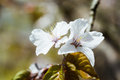 Two white cherry flowers a bunch of on a twig this is a japanese sakura in full bloom hanami time spring the season Royalty Free Stock Images