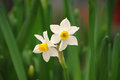 Two white daffodil and green long and narrow leaves Royalty Free Stock Image
