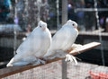 Two white decorative pigeon Stock Images