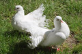 Two white doves Royalty Free Stock Photography