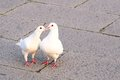 Two white doves,chasing and kissing Royalty Free Stock Photo