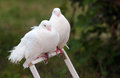 Two white doves perched on a cage door Royalty Free Stock Photo