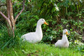 Two white ducks Royalty Free Stock Photo
