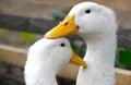 Two white ducks Royalty Free Stock Photo