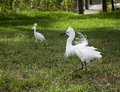 Two white egret with ruffled feathers protecting territory white crane Royalty Free Stock Image
