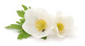 Two white flowers. Royalty Free Stock Photo