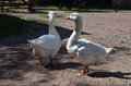 Two white geese Royalty Free Stock Photo