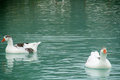 Two white geese in the water with gray feathers swim blue lake and gray goose waterfowl birds city park Stock Photos