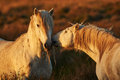 Two white horses of Camargue Royalty Free Stock Photo