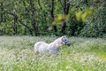 Two white horses in flower meadow near arsdale on bornholm denmark Stock Photo