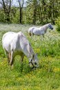 Two white horses on green pasture near arsdale bornholm denmark Stock Photography