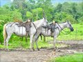 Two white horses for horse back riding in costa rica Stock Photos