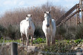 Two white horses looking straight on in the albufera nature reserve majorca february Royalty Free Stock Image