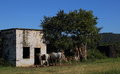 Two white horses stand outside an old stable Royalty Free Stock Photo
