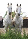 Two white horses twin looking over fence Royalty Free Stock Photos