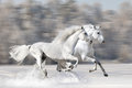 Two white horses in winter run gallop Stock Images