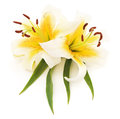 Two white lilies. Royalty Free Stock Photo