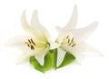 Two white lilies. Royalty Free Stock Photo