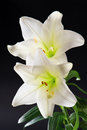 Two white lily flowers on black Stock Photos
