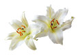 Two white lily flowers isolated over white background Royalty Free Stock Photos