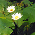 Two white lotus flower Royalty Free Stock Image