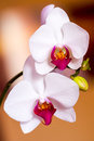 Two white orchid flower Stock Photo
