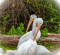Two white pelicans pecking with long beaks. Bird, birds, Royalty Free Stock Photo
