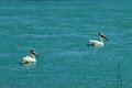 Two white pelicans swimming leisurely in turquoise water Stock Image