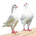 Two white pigeon imperial pigeon ducula Stock Photo