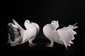 Two white pigeons on black background Stock Photo