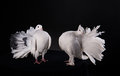 Two white pigeons on black background Royalty Free Stock Photo