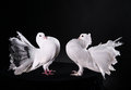 Two white pigeons Royalty Free Stock Photo