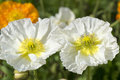 Two white poppies blooming in spring Royalty Free Stock Photo